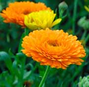 Pot Marigold Flowers