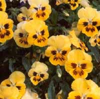 Pansy Blooms